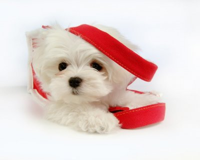 Cute Male And Female Maltese Puppies For Rehoimng