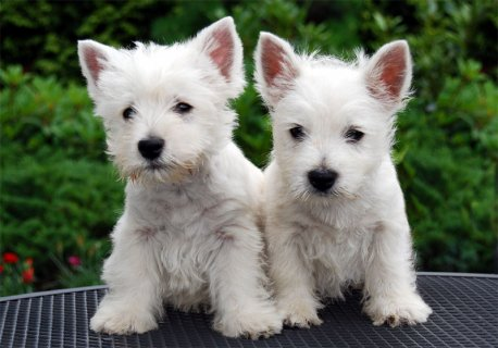 Male/Female West Highland White Terrier Puppies Fo