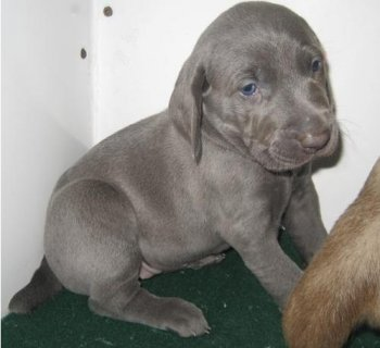 Weimaraner puppies for adoption	11