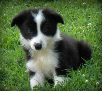 صور Border Collie Puppies for Sale111 1