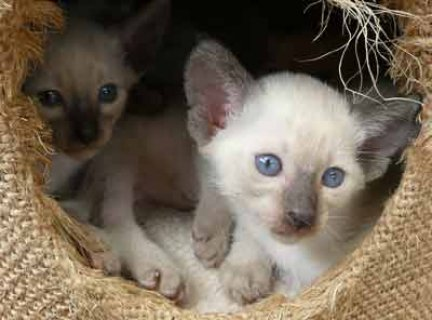 Beautiful Siamese Kittens for sale Six beautiful