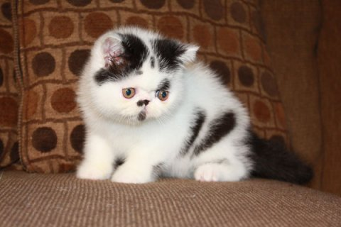 Exotic Shorthair Kittens For Rehoming  Healthy and