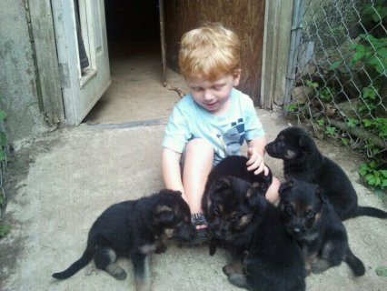German Shepherd Puppies for saless