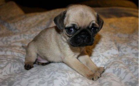 Black And Grey Pug Puppies Available For Good Ho