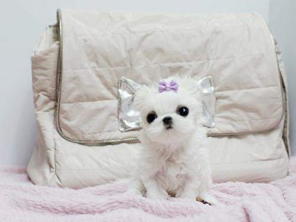 2 Excellent Male And Female Tea Cup Maltese Puppie