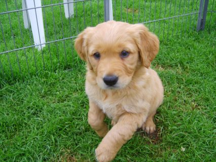 Creme White Golden retriever puppies looking for n