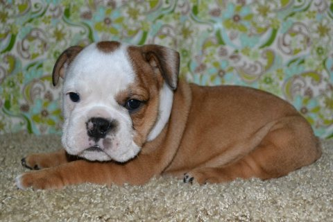 Good Looking English bulldogs puppies for adoption