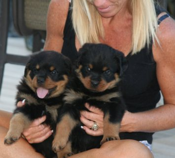 Champion Lineage Heavy Boned Rottweiler Puppies av