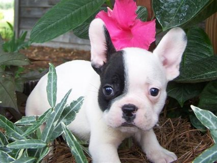 Two Gorgeous French Bulldog Puppies for adoption21