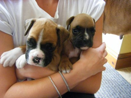 Pure Breed Boxer puppies For Adoption