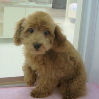 Poodle Puppies For Rehoming11