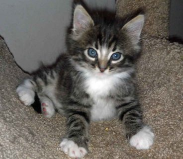 صور Maine Coon Kittens For Rehoming 1 1