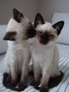 2 Beautiful litter of Siamese Kittens for sale 222