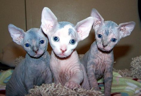 Cutest Registered Sphynx Kittens Available For Sal