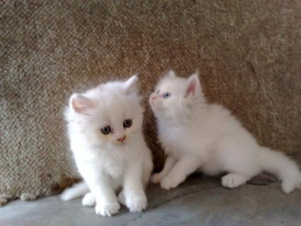 White Color Male and Female Persian Kittens For Re