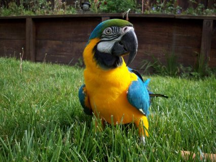 Hand Raised Blue And Gold Macaw Parrots Available.