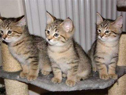 Stunning Pixie-bob Kitten For Re-homing.