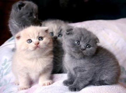 Scottish Fold Kittens for adotion