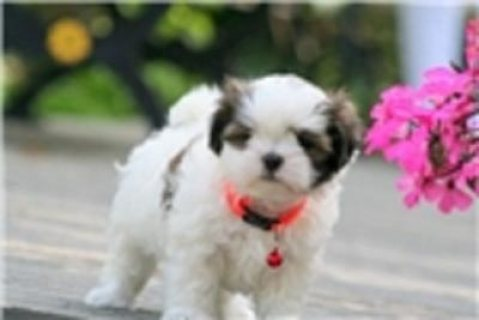 Quality Male and Female Mal-Shi - Malshi Puppies F