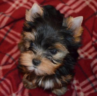 Adorable Yorkie Puppies For Adoption. 22