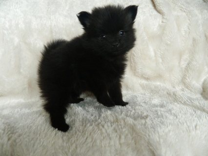 Black And Grey Teacup Pomeranian Puppies For Sale2
