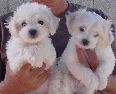 Snow white bichon frise puppies for adoption111