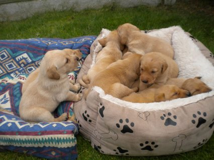 Beautiful Labrador Puppies for adoption111
