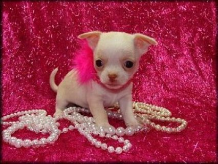 Teacup Chihuahua Puppies Available Both Toy And Te