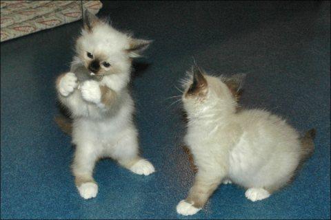 Male and Female Birman Kittens111