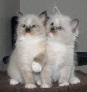 Cute Male And Female Ragdoll Kittens For New Home1