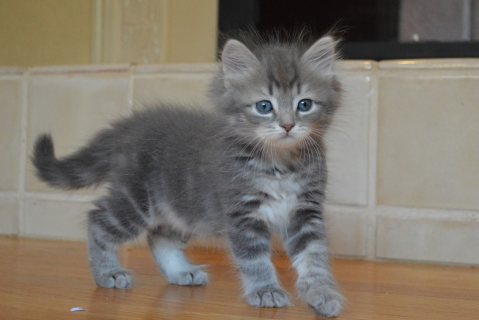 Cute Siberian Kittens ready to go For Good Homes11