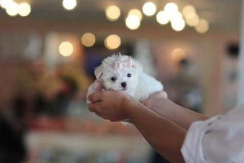 Awesome T-Cup Maltese Puppies Available