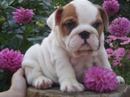 English Bulldog pups waiting for you !
