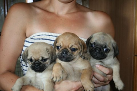 1 Black And 1 Grey Pug Puppies Available For Good
