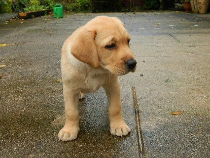 Pure Breed Labrador Puppies for adoption