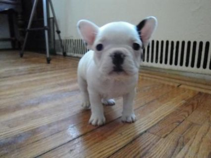 Now Available French Bulldog Puppies For Sale