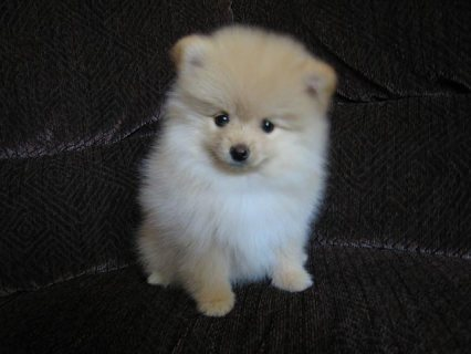 Cute Pomeranian Puppies For New Homes