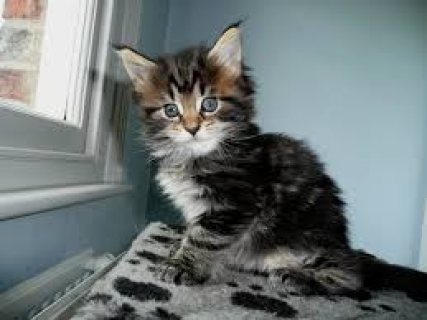 Maine Coon Kittens For Rehoming 9999