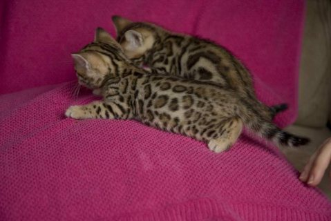 Vaccinated Bengal Kitten for sale