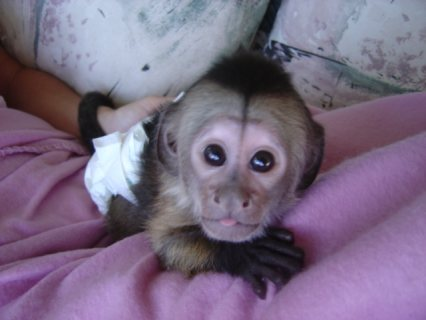 i got some 2 lovely baby capuchin monkeys ready fo