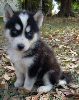 AKC Siberian Husky Puppies Champion Blood Lines