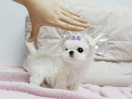Male And Female Tea Cup Maltese Puppies Ready To G