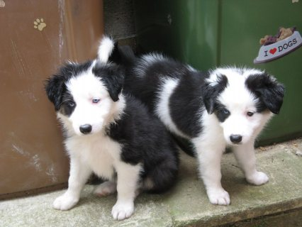 Border Collie puppies ready for a new attention