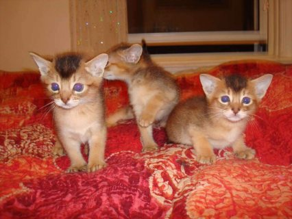 Abyssinian Kittens  Male And Female For Lovely Hom