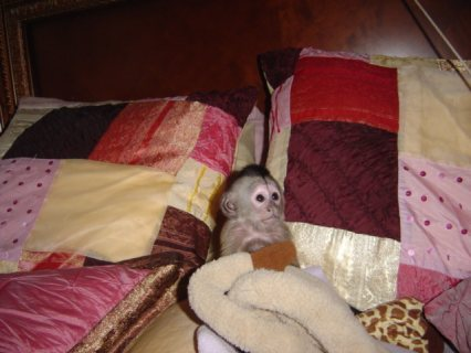Small Capuchin Monkey   monkey is 12 weeks old now