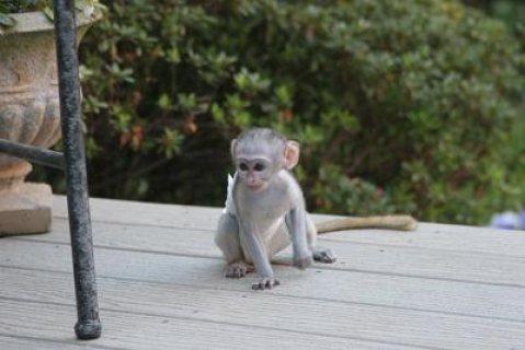 Top quality baby capuchin monkeys   Top quality b