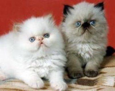 Himalayan Kittens for adoption Contact (jasonblere