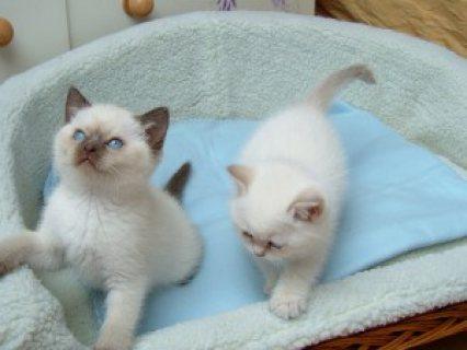 Rag doll Kittens for adoption Contact (jasonblere9