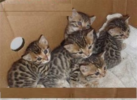 Bengal Kittens for Adoption Contact (jasonblere9@>