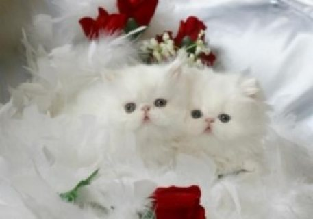 Toy Persian kittens  for  adoption Contact (jasonb